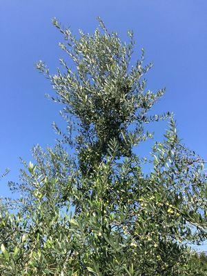 オリーブの木2.jpg