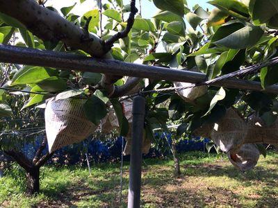 梨を支える鉄パイプ.jpg