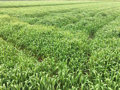 小麦畑.jpg